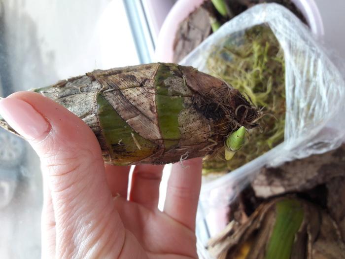 Выращивание орхидей из луковиц из вьетнама 57