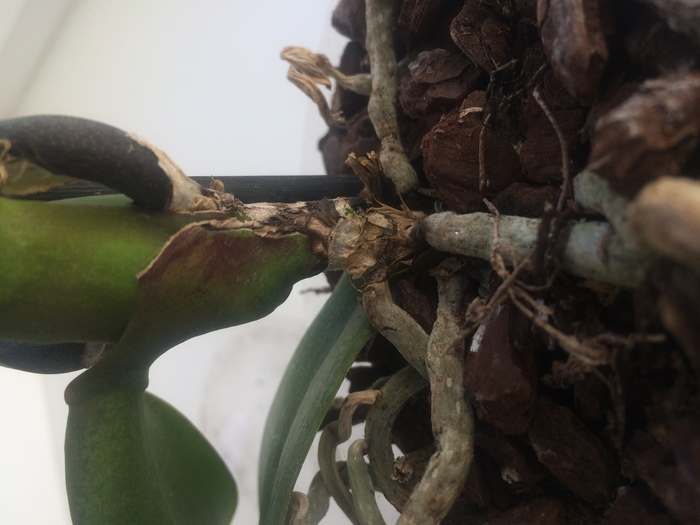 Если корни орхидеи почти сгнили что делать