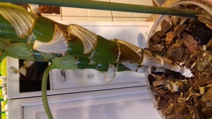 Что делать если корни орхидеи сухие