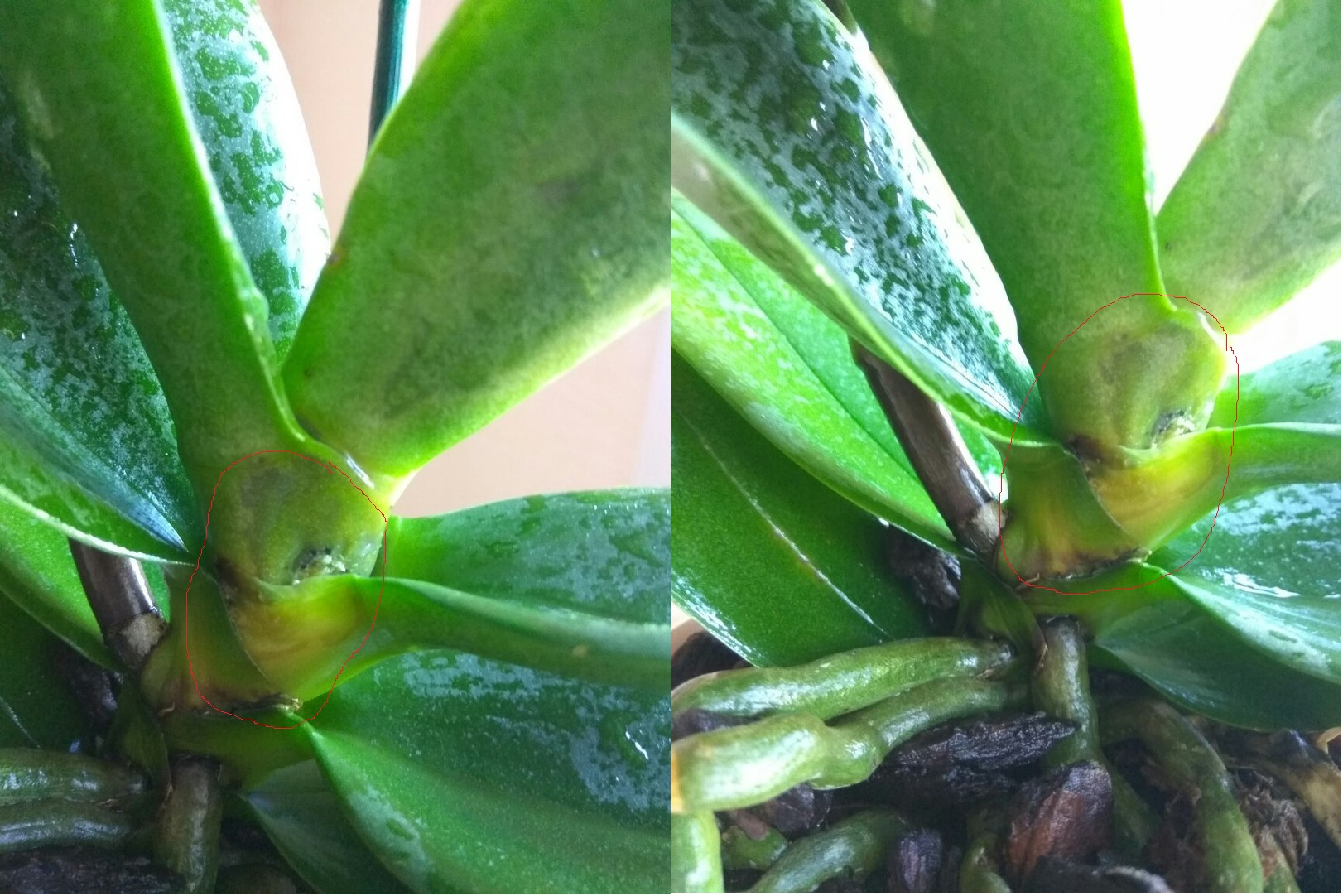 Орхидея фаленопсис в домашних условиях болезни 205